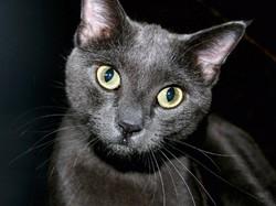 Великобритания: опала чёрных кошек