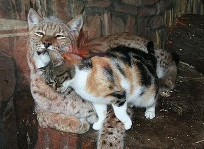Рысь и кошка - подруги не разлей вода