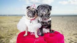 В Австралии поженили двух мопсов
