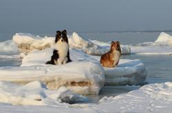 Собаки дрейфуют на льдине