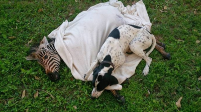 Поинтер Эли - опекун для маленькой зебры