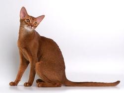 В чём разница между дикой и домашней кошкой
